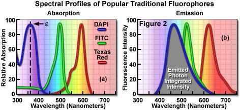 普通的传统荧光团的光谱图