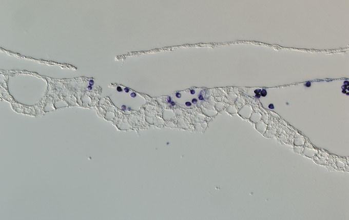 在鸡胚发育的12阶段的血岛